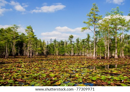 Lily pads and blooming flowers in Florida cypress swamp. - stock photo