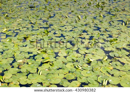 Lily pads on a lake - stock photo