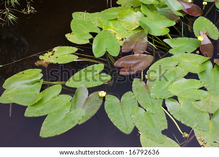 Lily Pads on Canal, Anhinga Trail, Everglades National Park - stock photo