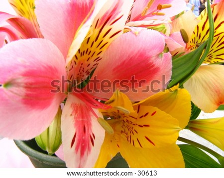 Lilys close-up - stock photo