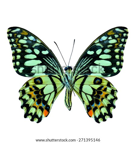 Lime Butterfly front profile in natural color isolated on white background, the beautiful butterfly - stock photo
