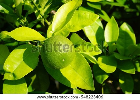 Lime fruit closeup
