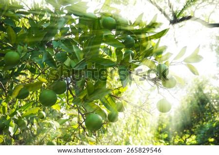 Lime green tree hanging from the branches in sun rays - stock photo