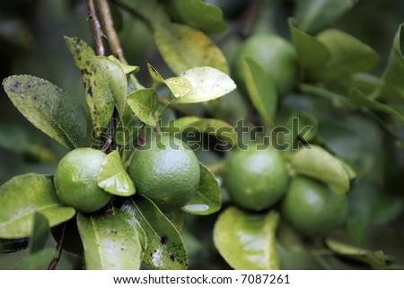 Lime tree. - stock photo