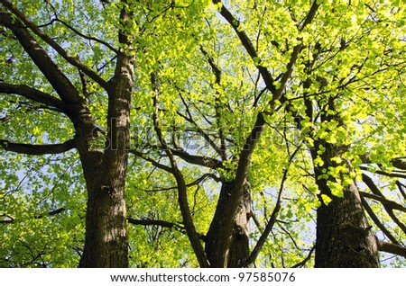 Lime tree branch leaf stem green grow in spring. Natural background of nature come to life. - stock photo