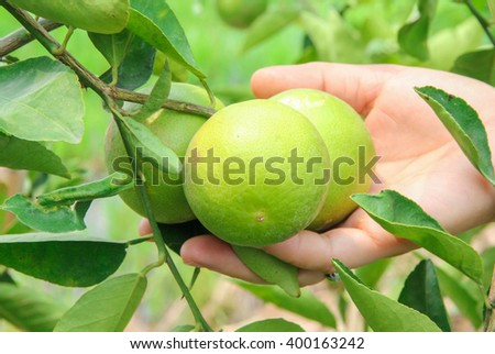 lime tree in Thailand no.2 - stock photo