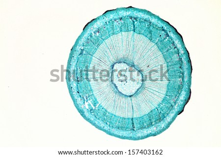 Lime tree stem section - stock photo