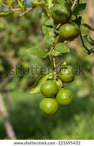 Limes on lime tree . select focus  - stock photo