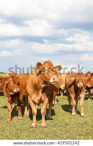 Limousin beef cow with two calves in a sunny  evening pasture facing the camera with the rest of the herd in the background, closeup view