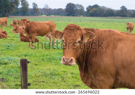 limousin cows in a green meadow in the netherlands - stock photo