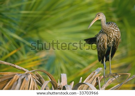 limpkin against blurry palms in florida wetland - stock photo