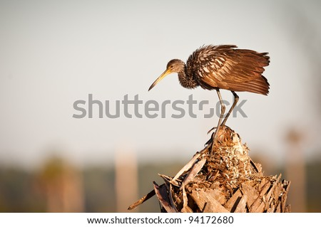 Limpkin (Aramus guarauna) at the Ritch Grissom Memorial Wetlands (often referred to as the Viera Wetlands) in Melbourne, Florida - stock photo