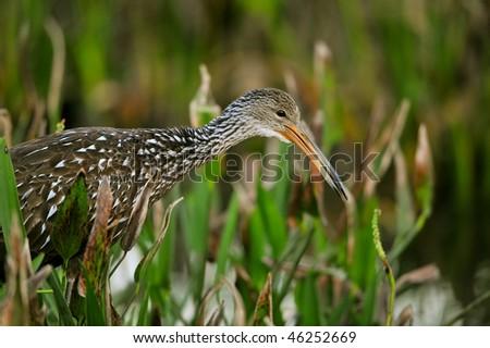 limpkin head shot in marsh - stock photo