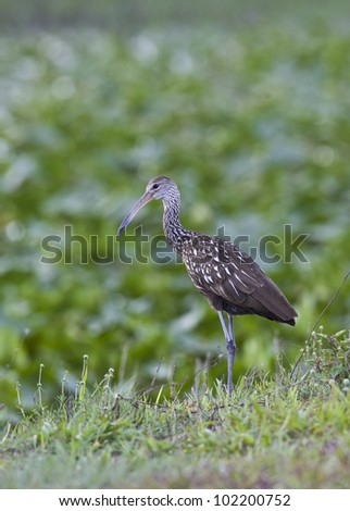 Limpkin in early morning in Everglades National Park - stock photo