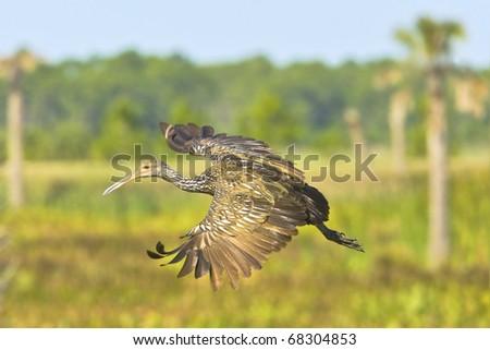 Limpkin in flight on floridian wetlands background. Latin name - Lonchura punctulata. Focus on eye. - stock photo