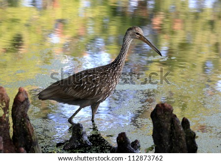 Limpkin in the Cypress Knees - stock photo