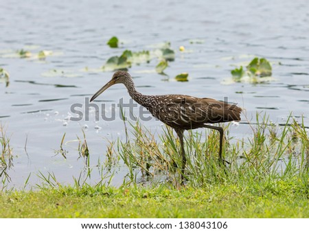 Limpkin on the search for food - stock photo