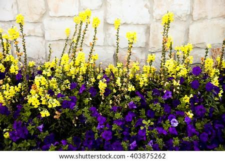 Linaria vulgaris and violet Petunia - stock photo