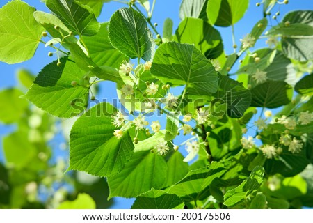 Linden blossoming in a summer garden on the sky background - stock photo