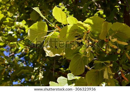 Linden leaves and seedpods on green leafy background - stock photo