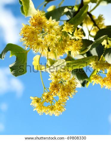 Linden tree - stock photo