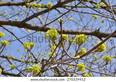 Linden Tree (lime tree) linden blossom. Blooming linden, lime tree in bloom. Linden Tree blossom - stock photo