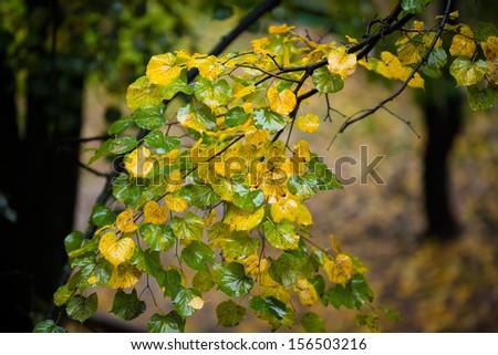 Linden tree, rainy autumn - stock photo
