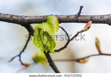 Linden twig, branch with fresh green leaf. Budding, embryonic shoot macro view. soft background. spring time in the park - stock photo