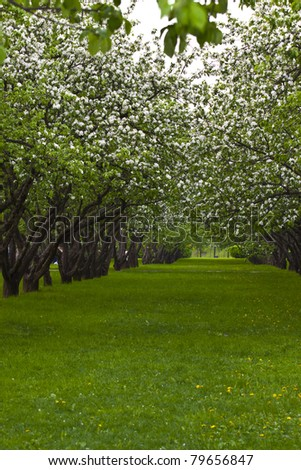 line of blossoming apple trees during mid-day light and green grass around - stock photo
