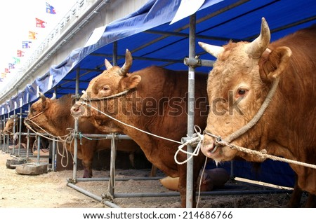 Line of bulls - farming and agriculture - stock photo
