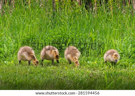 Line of Four Goslings (Branta canadensis) in the grass - stock photo