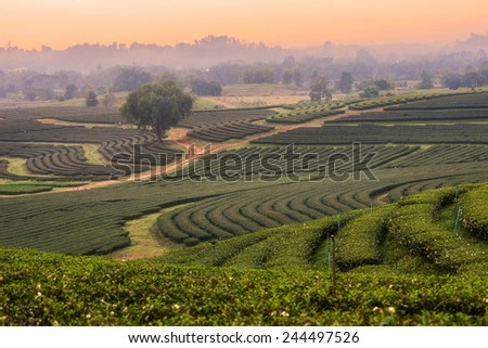 line of Tea Garden at boonrawd farm,Chiangrai province ,North of Thailand - stock photo