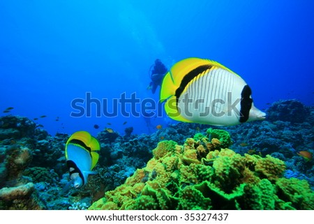 Lined Butterflyfish (Chaetodon lineolatus) with Scuba DIvers in background - stock photo