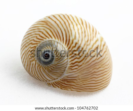Lined Moon snail (Natica lineata) on white background, marine gastropod mollusk - stock photo