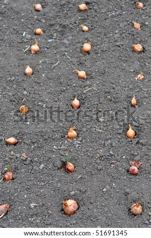 Lines of onions in allotment - stock photo