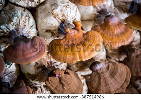 Lingzhi mushrooms in mushroom farm - stock photo