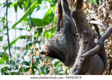 Linnaeus's two-toed sloth (Choloepus didactylus) on a tree - stock photo