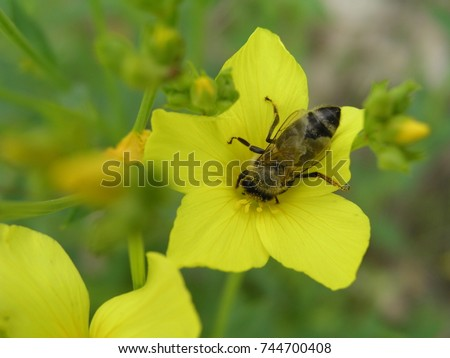 Linum maritimum yellow flowers growing europe stock photo royalty linum maritimum yellow flowers growing in europe honey and medicinal plants golden flax or mightylinksfo