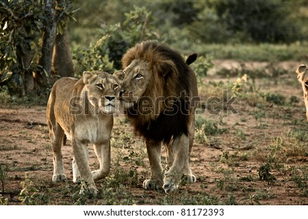 Lion and Lioness at Kruger Narional Park, South Africa - stock photo