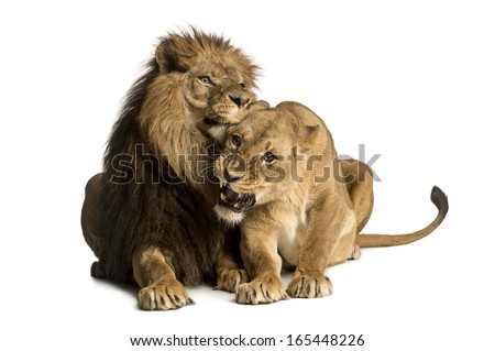 Lion and lioness cuddling, lying, Panthera leo, isolated on white - stock photo