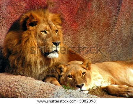 Lion and Lioness Evening Rest - stock photo