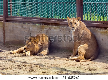 lion and lioness in a cage at zoo - stock photo
