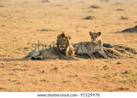 lion and lioness in South Africa - stock photo