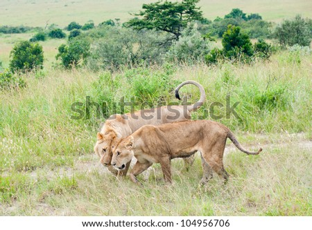 Lion and lioness, Kenya