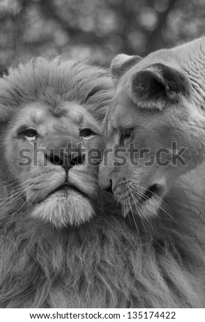 Lion and lioness nosing