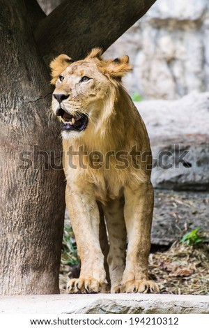 Lion , animal and pet - stock photo