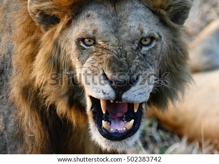 Lion Attack Stock Images RoyaltyFree Images Vectors Shutterstock - Photographer captures angry lion before attack