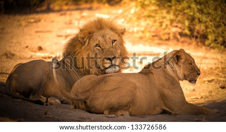 Lion couple after mating in Africa close up - stock photo
