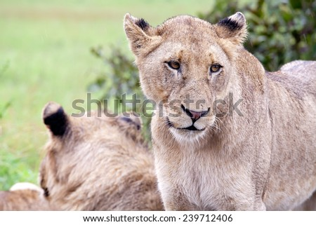 Lion couple in the bush. South Africa, Kruger National Park. - stock photo