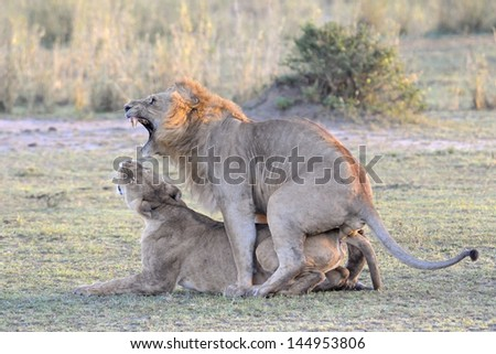 Lion couple mating. - stock photo